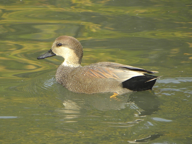 Toronto Wildlife - More Gadwall Ducks