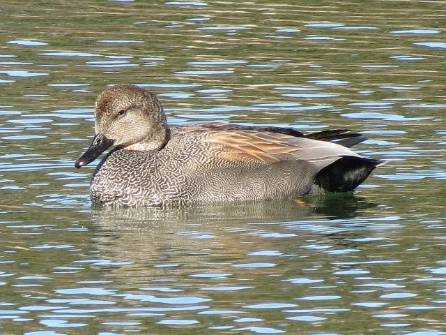 Toronto Wildlife - Dabbling Ducks