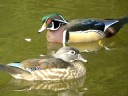 Ducks (dabbling)