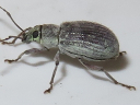 Asiatic Oak Weevil