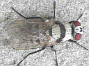 Root Maggot Fly
