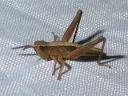 Slant-faced Grasshopper