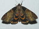 Clouded Underwing