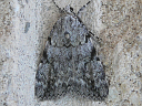 Girlfriend Underwing Moth
