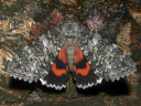Once-married Underwing