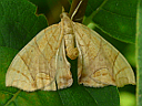 Grapevine Looper Moth