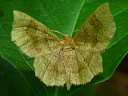 Metarranthis Moth