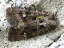 Bristly Cutworm Moth