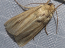 Many-lined Wainscot