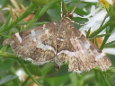 Spotted Beet Webworm