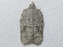 Black-lined Acleris