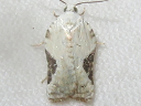 Bent-wing Acleris
