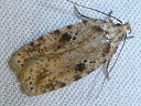 Canadian Agonopterix