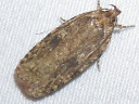 Featherduster Agonopterix