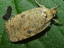 Thelma's Agonopterix