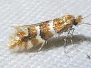 Phyllonorycter species