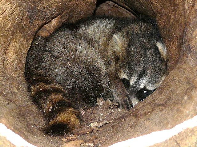 Raccoon T Toronto Wildlife - Mor...