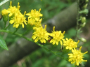 Rough-stemmed Goldenrod