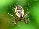 Tuftlegged Orbweaver Spider