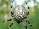 Orbweaver Spiders