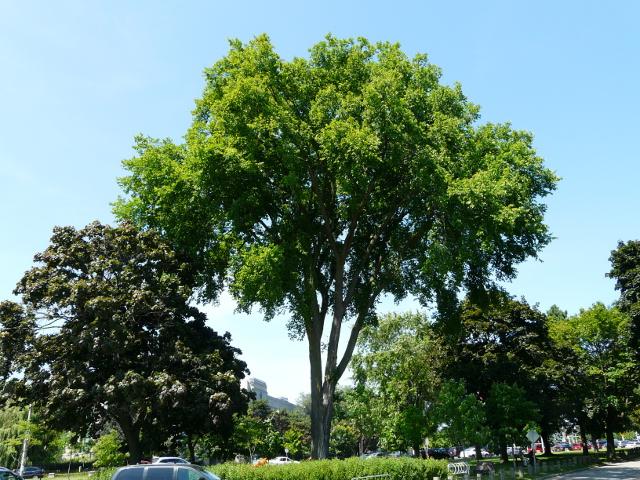 trees in toronto