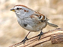 More American Tree Sparrows