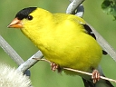 More American Goldfinches
