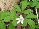 More Wood Anemone