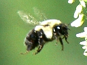 Bees, Wasps, Ants & Sawflies