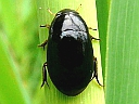 Water Scavenger Beetles
