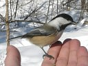 More Black-capped Chickadees
