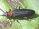 False Blister Beetles