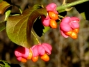 More European Euonymus