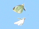 More Cabbage White Butterflies