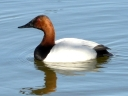 More Canvasback Ducks