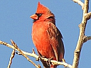 Cardinals, Grosbeaks & Buntings