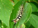 More White-marked Tussock Moths