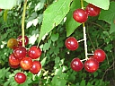 More Choke Cherry