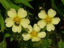 More Rough-fruited Cinquefoil