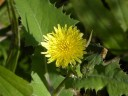 More Common Sow Thistle