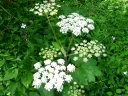 More Cow Parsnip