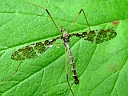 Band-winged Crane Fly