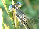 More Spotted Spread-wing Damselflies