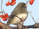 More Dark-eyed Juncos