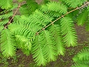 More Dawn Redwood
