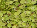 Common Duckweed