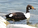 More King Eider Ducks