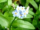 More True Forget-me-not