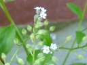 More Smaller Forget-me-not