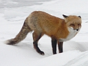 More Red Fox